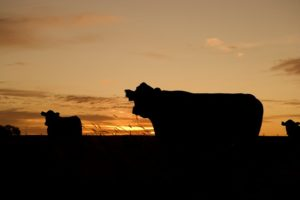 cattle-640985_640