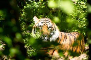 tiger-1575589_1920