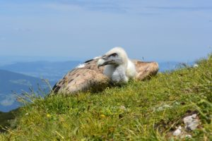Young Vulture Returned to the Austrian Wilderness