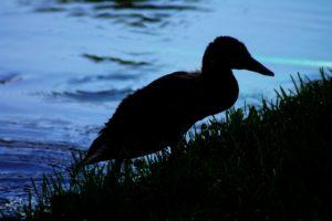duck-1465768_1920
