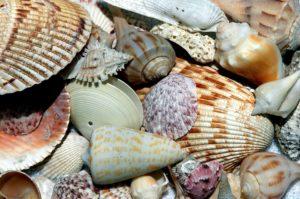 sea-shells-1886613_1920